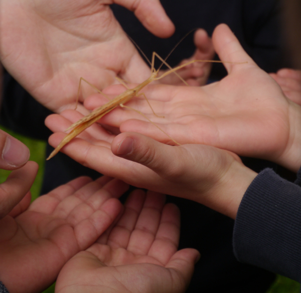 Many small hands holding a stick insect