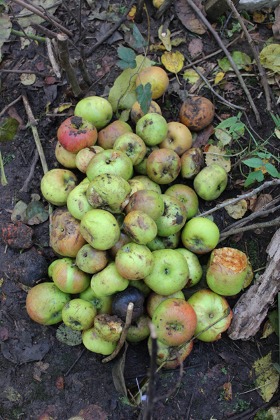 an apple pile to see if they come and eat anything